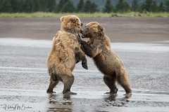_HB32680 (Hilary Bralove) Tags: lakeclarknationalparkbrownbearsbearsalaskanikonwildlifegrizzlygrizzlybearbrownbearanimalswildlifephotographer alaksa brownbears grizzlybears bear bears grizzly brownbeargrizzly bearlake clarkwildlifealaska wildlifenikonlake clark national park