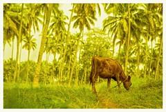 Agri farm (Rajavelu1) Tags: agri farm coconuttrees cattle green availablelight dslr art creative artdigital bokeh depthoffield