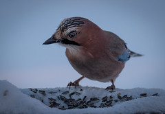The Jay (MrBlackSun) Tags: scenery kuusamo nature photography wildlife bird birds birdlife birdlover birdwatcher nikon d850 finland