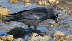 Jackdaw 240219 (2) (F) (Richard Collier - Wildlife and Travel Photography) Tags: wildlife naturalhistory british birds jackdaw naturethroughthelens