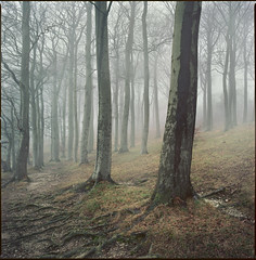 scarred for life (wider view) (steve-jack) Tags: hasselblad 501cm 50mm cfi kodak ektar 100 film 120 6x6 medium format trees forest woodland beech mist tetenal c41 kit epson v500