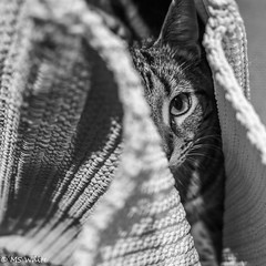 The Cat's in the bag! (SpyderMarley) Tags: cat kitten marley bag knittedbag eye mischievious blackandwhite