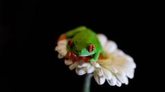 Frog on a flower (pboolkah) Tags: clactononsea england unitedkingdom gb canon canon5d canon5dmkiv frog green flower