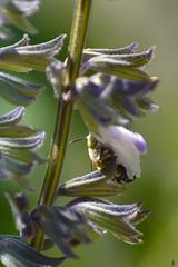 Blue Banded bee @ Burnley gardens (SuzieAndJim) Tags: suzieandjim native australian nature bee banded blue