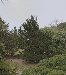 Tsuga canadensis 'Hussii', 2019 photo (F. D. Richards) Tags: harpercollectionofraredwarfconifers hiddenlakegardens tiptonmi hrh bedh michigan usa