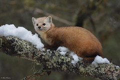 Pine Marten (aj4095) Tags: pine marten nature wildlife outdoor animal ontario canada nikon tree forest