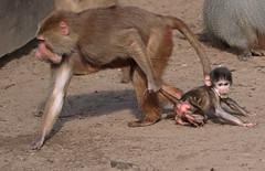 hamadryas baboon amersfoort 094A0095 (j.a.kok) Tags: animal africa afrika aap mammal monkey primate primaat baboon baviaan mantelbaviaan hamadryasbaboon zoogdier dier amersfoort