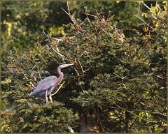 Blue Heron (Sigi Deczki) Tags:
