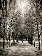 The Avenue (Feldore) Tags: strangford castle ward avenue trees walk walking figure solitary feldore mchugh sepia olympus 1240mm northern ireland moody
