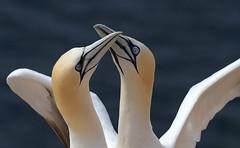 Tango (Nephentes Phinena ☮) Tags: basstölpel birds helgoland nordsee northsea northerngannet wildlife nikond500 sigma50500mmf463