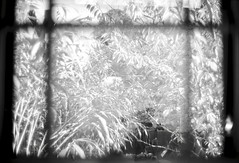 The view from standing at my toilet, and a double exposure at that.  I may or may not have been using said object at this moment… (The 69th Dimension) Tags: blackandwhite bamboo filmphotography film 35mm lecia doubleexposure multipleexposure