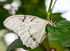 Butterfly (LuckyMeyer) Tags: botanical garden white green insect butterfly
