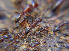 UM SOLDADO ENTRE BILIÕES, FORMIGA, SUPER MACRO, METOCHERIA, NAMPULA, MOÇAMBIQUE (paulomarquesfotografia) Tags: formiga super macro metocheria nampula moçambique sony hx400v lente closeup ant supermacro mozambique lens paulo marques insecto insect natureza nature
