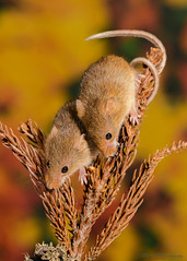 Harvest mice 5 12.01.19 (Lee Myers - aka mido2k2) Tags: harvest mice mouse mammal small native wildlife uk countryside nature natural studio light portrait setup nikon d7100 flash strobe sigma macro 105mm cute smile happy fluffy rodent
