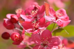 (Sandra Király Pictures) Tags: blossom flower flowers spring makro macro nature outdoor