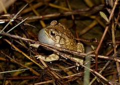 Asian Toad (Duttaphrynus melanostictus) (cowyeow) Tags: chinese hunan nature china asia asian macro wildlife frogs amphibian herp herps herping herpetology farm creek water pond asiantoad duttaphrynusmelanostictus toad duttaphrynus melanostictus toads calling grass