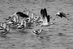 American Avocet (Recurvirostra americana) (Betsy McCully) Tags: avocets americanavocet recurvirostraamericana floridabirds merrittnationalwildliferefuge