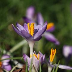 crocus (bugman11) Tags: crocus krokus flora flower flowers petals nature canon 100mm28lmacro nederland thenetherlands haarlem bokeh