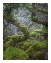 The Forbidden Forest (Rich Walker Photography) Tags: wood woodland tree trees mist fog nature green moss rocks boulders twisted moody dark spooky landscape landscapephotography landscapes canon england efs1585mmisusm eos eos80d dartmoor devon