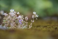 Crasas (miratumismo) Tags: 2012 5dmk2 flora foix francia macro pirineo sigma15028