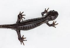 Salamander on Snow-1778 (Geoffrey Shuen Photography) Tags: stanleypark salamander snow