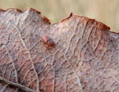 Coccidula rufa (rockwolf) Tags: coccidularufa ladybird redmarshladybird beetle coccinellidae coccinelle insect coleoptera radbrook shropshire rockwolf