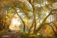The three trunks (Jean-Michel Priaux) Tags: forest trees nature paysage landscape alsace rhinau light savage sun sunset sunrise shadows priaux place path pathway wet paint painting