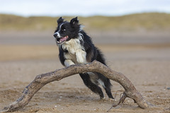 bit of agility practise (redshift1960) Tags: gibson bordercollie dog beach jump