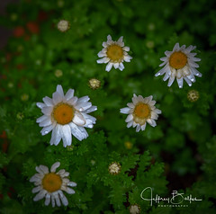 Garden Shots-4190 (Jeffrey Balfus (thx for 4 Million views)) Tags: sonya9mirrorless sonyalpha sonyilce9 fullframe 90mmf28macrogossprimelensmacro sel90m28g flowersplants