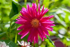 Pyrethrum (yc4646) Tags: asteraceae chrysanthemum chrysanthemumcinerariifolium magnoliophyta magnoliopsida angiospermes daisy dicots dicotylédones floweringplants phanérogames plantesàfleurs plantesàfruits plants pyrethrum sunflowers singapore