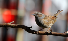 Dunnock. (Chris Kilpatrick) Tags: chris canon canon7dmk2 outdoor wildlife nature bird animal dunnock signsofspring springwatch garden douglas isleofman sigma150mm600mm sigma
