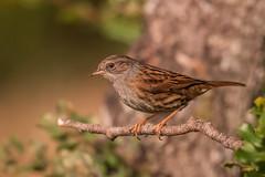 Dunnock (Josh13770) Tags: dunnock ronda birdwatcher
