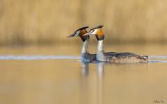 Perkozy dwuczube/GCG (mirosławkról) Tags: wild wildlife animal bird water pond lake sunrise grebe 150600 nikonnaturephotography nature poland orange perkoz great crested