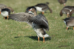 DSC_1982_Edit (Clive Webber) Tags: anatidae anseralbifrons anseriformes anserinae belgium bird blankenberge greaterwhitefrontedgoose places uitkerke westvlaanderen