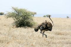 Ostrich (Ralph Apeldoorn) Tags: bird nationalpark ostrich serengeti serengetinationalpark simiya tanzania tz