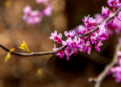 Spring 2019 Blooms (4) (tommaync) Tags: spring 2019 march blooms buds nature outdoor trees nikon d7500 chathamcounty chatham nc northcarolina redbud redbuds purple