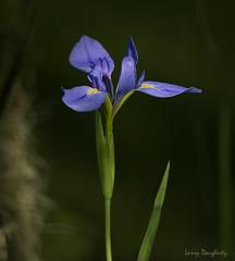 Swamp Flower.......D800 (Larry Daugherty) Tags: iris wildiris louisianawildiris louisianairis louisianastatewildflower nikon d800 nikon500mmf4lens lafrenierepark metairie louisiana nikond800 jean jeanlafittenaturestudyparklafittelouisiana lafittelouisiana southeastlouisiana swamp nature louisianablueiris baratarialouisiana plantae angiosperms monocots asparagales indaceae indoideae irideae limniris hexagonae i giganticaerulea irisgiganticaerulea