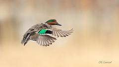Green-winged Teal Landing (CR Courson) Tags: ducksswansandgeese greenwingedteal birds birdphotography birdsinflight naturephotography nature crcourson chuckcourson