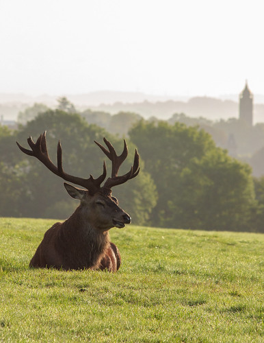 Deer at Ashton Court