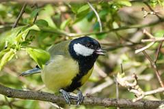 Great Tit (sumowesley) Tags: bird fauna greattit nature oldmoor