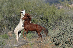 Holding him down (littlebiddle) Tags: saltriver tonto national forest arizona wildlife nature animals horse equine