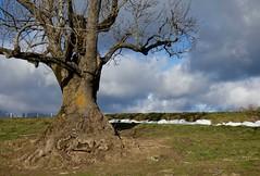 PORTRAIT OF A REGULARLY VISITED TREE (LitterART) Tags: tree baum steiermark styria österreich austria natur country land nature