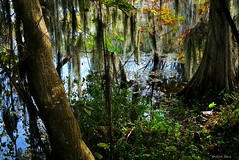 Cypress Tree (surfcaster9) Tags: cypress tree wetland florida lumixg7 spanish moss swamp marsh