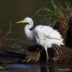 0S8A0284. Great Egret (Egretta alba) - Grande Aigrette (Nick Ransdale (http://www.nick-ransdale.com/)) Tags: egrettaalba greategret