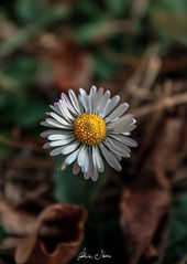 Last Daisy (alice.nanni) Tags: flower fiori fiore daisy margherita margherite natura natural macro macroflower canoneos2000d canon canoneos