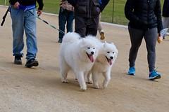 Double Dogs (Mondmann) Tags: dogs canines pets animals whitedogs whitefur walking dogwalking nationalmall washingtondc usa unitedstates america mondmann fujifilmxt20 legs streetphotography