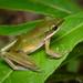 Chalcorana eschatia - Khao Phra - Bang Khram Wildlife Sanctuary