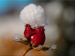 Snow Rose (Ostseetroll) Tags: deu deutschland geo:lat=5403904547 geo:lon=1068886622 geotagged pönitzamsee scharbeutz schleswigholstein winter schnee rose snow makroaufnahme macroshot olympus em10markii