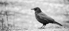 + a very clever bird + (Stefan Wirtz) Tags: rabe raven vogel bird kolkraben commonraven flughafen airport