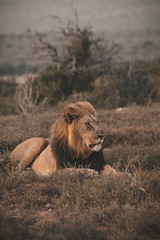 Resting for the night (Coisroux) Tags: d850 nikond850 kwandwe lion africa savannah portrait majestic flickrheroes